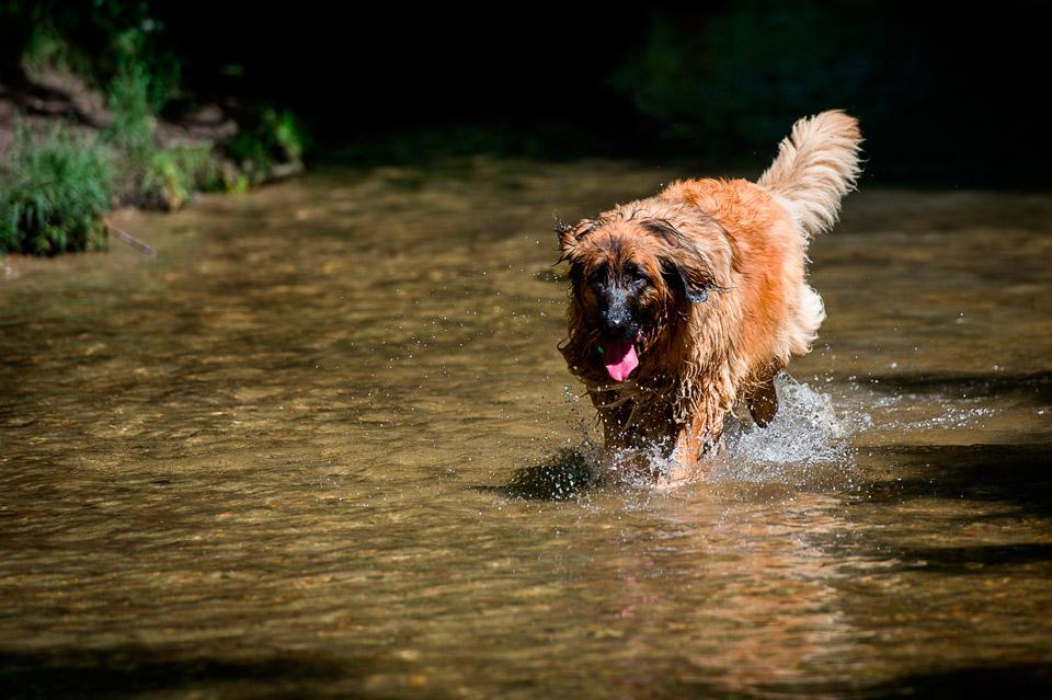 Baignade de chien