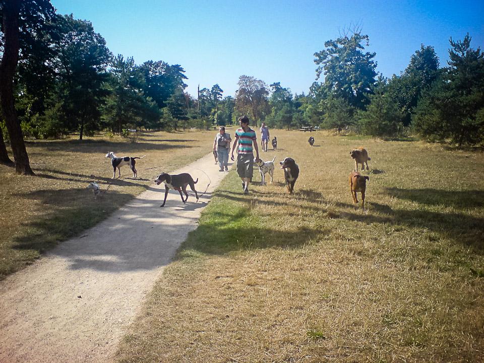 Promeneur de chiens professionnel au bois Vincennes 02