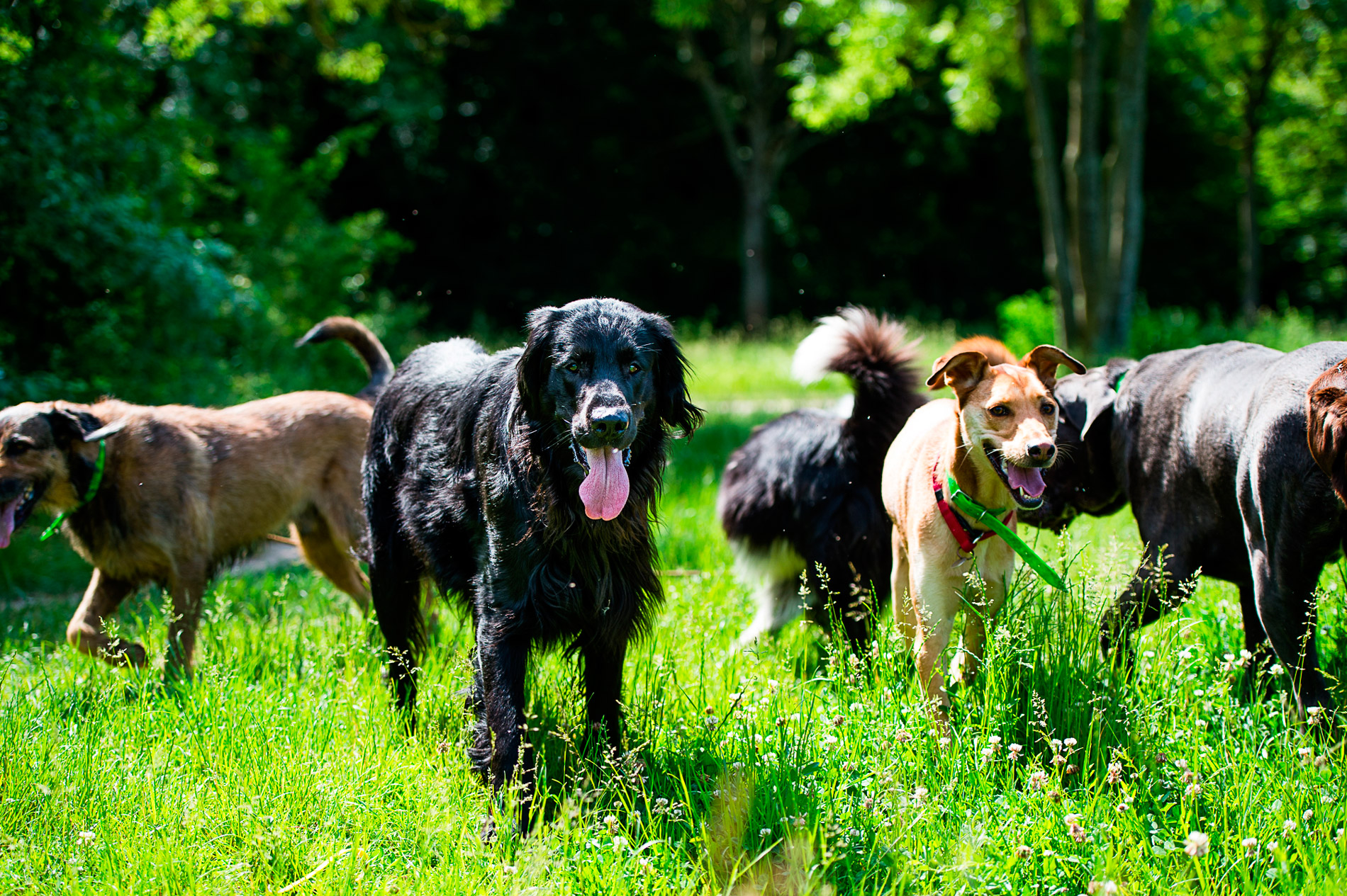 Promenade professionnelle de chien